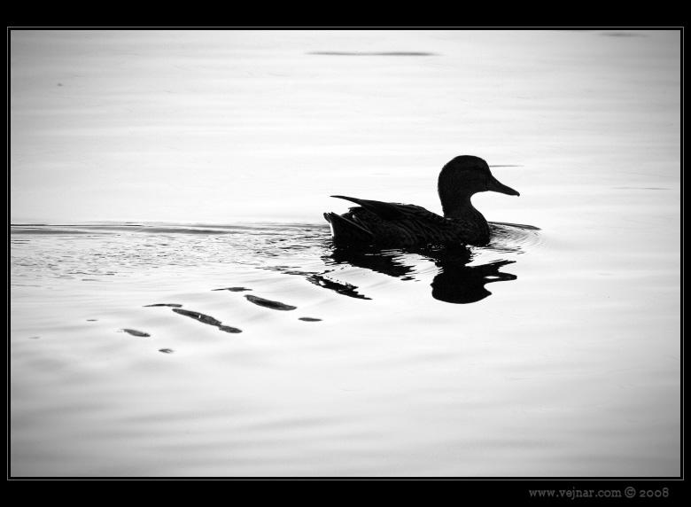 černobílá kachna