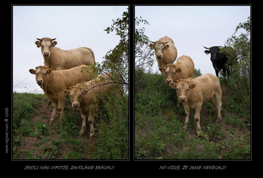 kráva 15