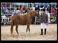 výstava koní 17