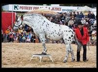 výstava koní 20