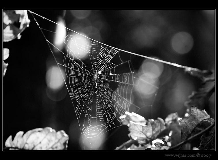 lesní pavučina