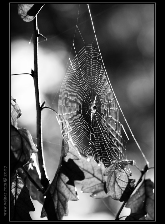 pavučina
