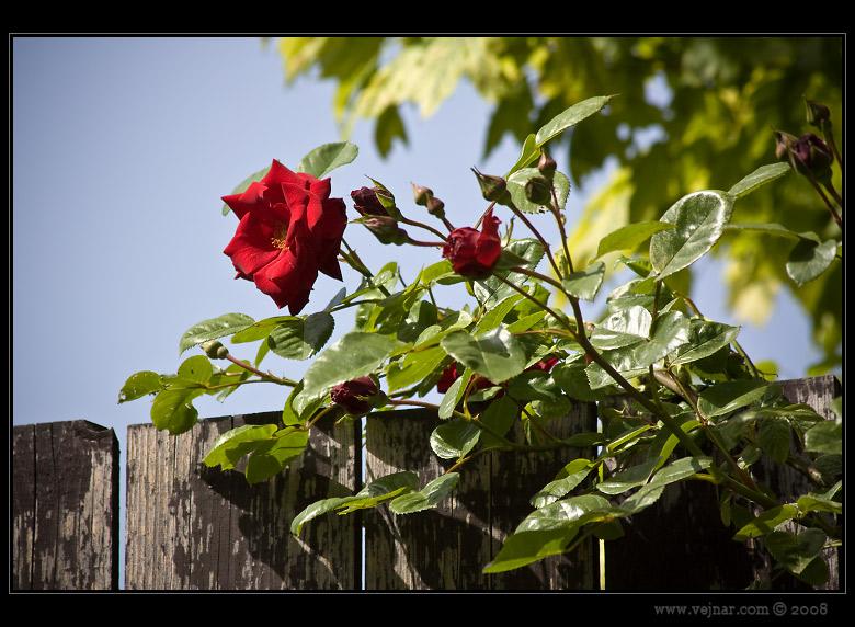 foto růže