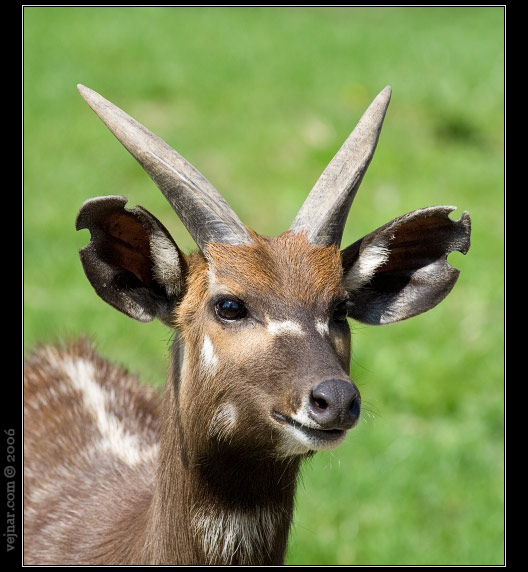 Omiljene divlje životinje Antilopa