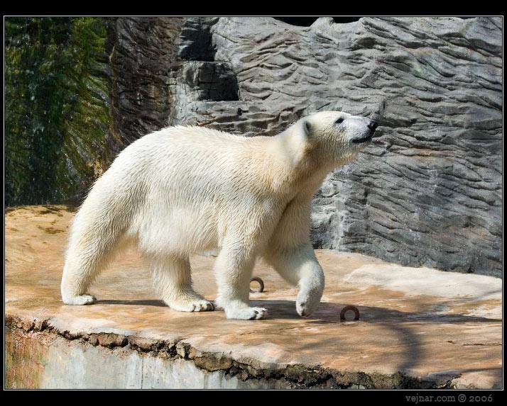http://www.vejnar.com/zoo/medved-ledni.jpg