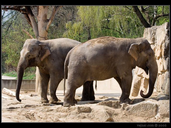 http://www.vejnar.com/zoo/slon-indicky.jpg