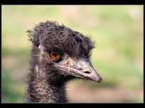 emu-hnedy