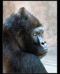 gorila richard