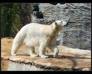 http://www.vejnar.com/zoo/tn_medved-ledni.jpg