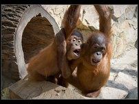 http://www.vejnar.com/zoo/tn_orangutani.jpg