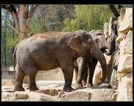 slon indický foto