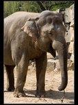 slon indický fotogalerie