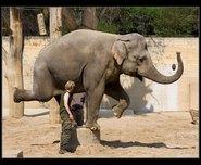 slon indický obrázky