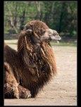 velbloud dvouhrbý