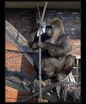 gorila fotografie