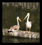 pelikán fotografie