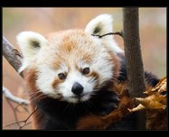 panda červená foto