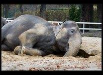 slon bengálský