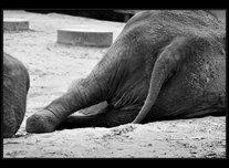 slon bengálský foto