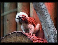 tamarín pinčí zoo