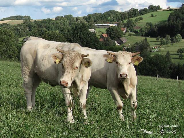 obrázky býků